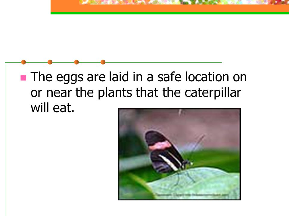 The Second Stage of a Butterfly's Life The second stage is the larva or caterpillar.