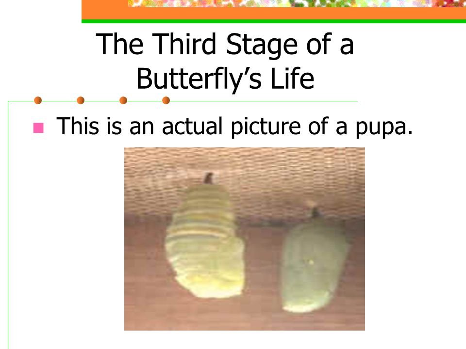 The Third Stage of a Butterfly's Life This is an actual picture of a pupa.