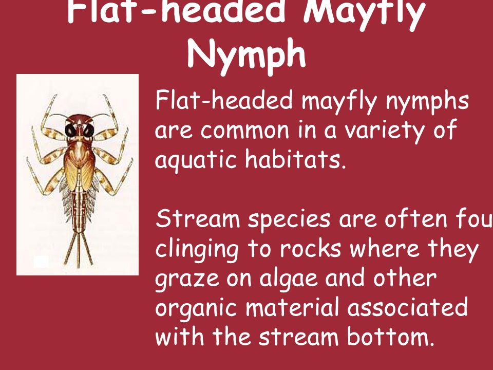 Flat-headed Mayfly Nymph Flat-headed mayfly nymphs are common in a variety of aquatic habitats.