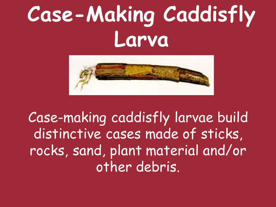 Case-Making Caddisfly Larva Case-making caddisfly larvae build distinctive cases made of sticks, rocks, sand, plant material and/or other debris.