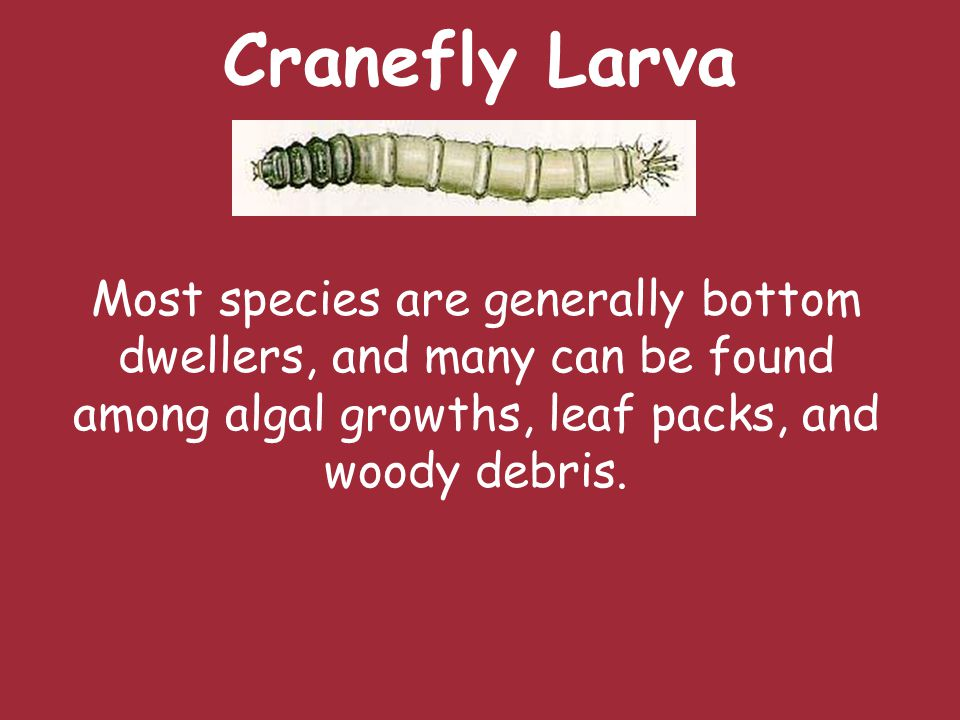 Cranefly Larva Most species are generally bottom dwellers, and many can be found among algal growths, leaf packs, and woody debris.