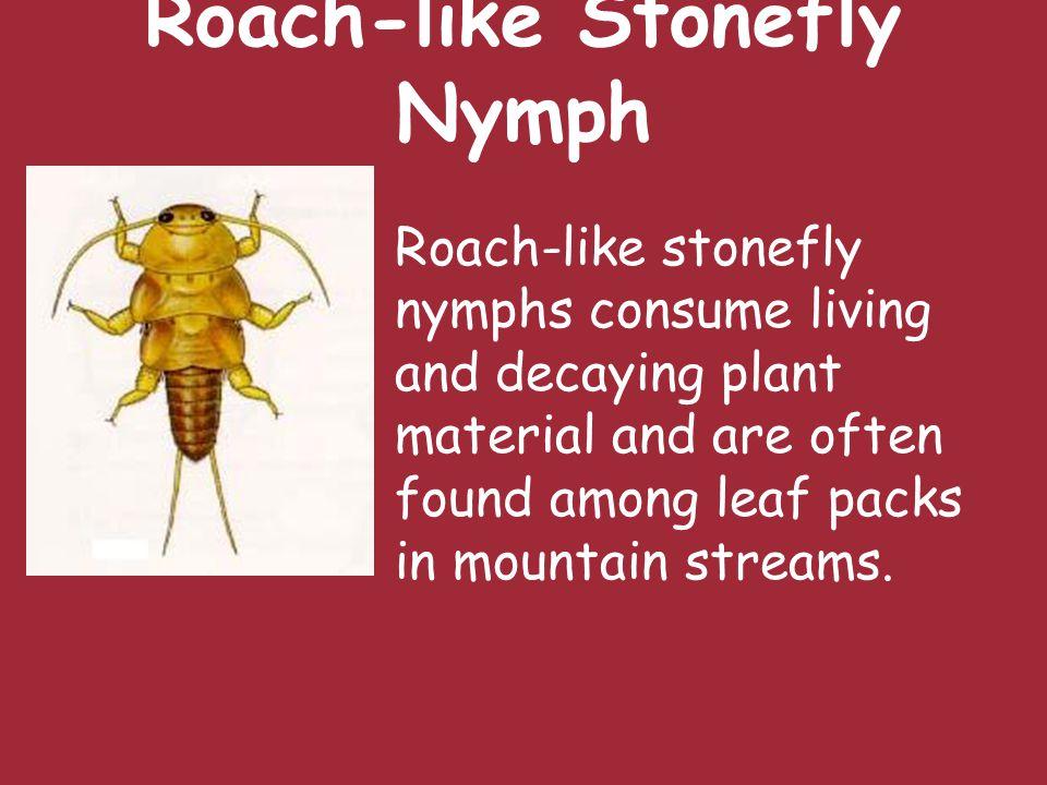 Slender Winter Stonefly Nymph Habitat ranges from small springs to medium-sized streams.