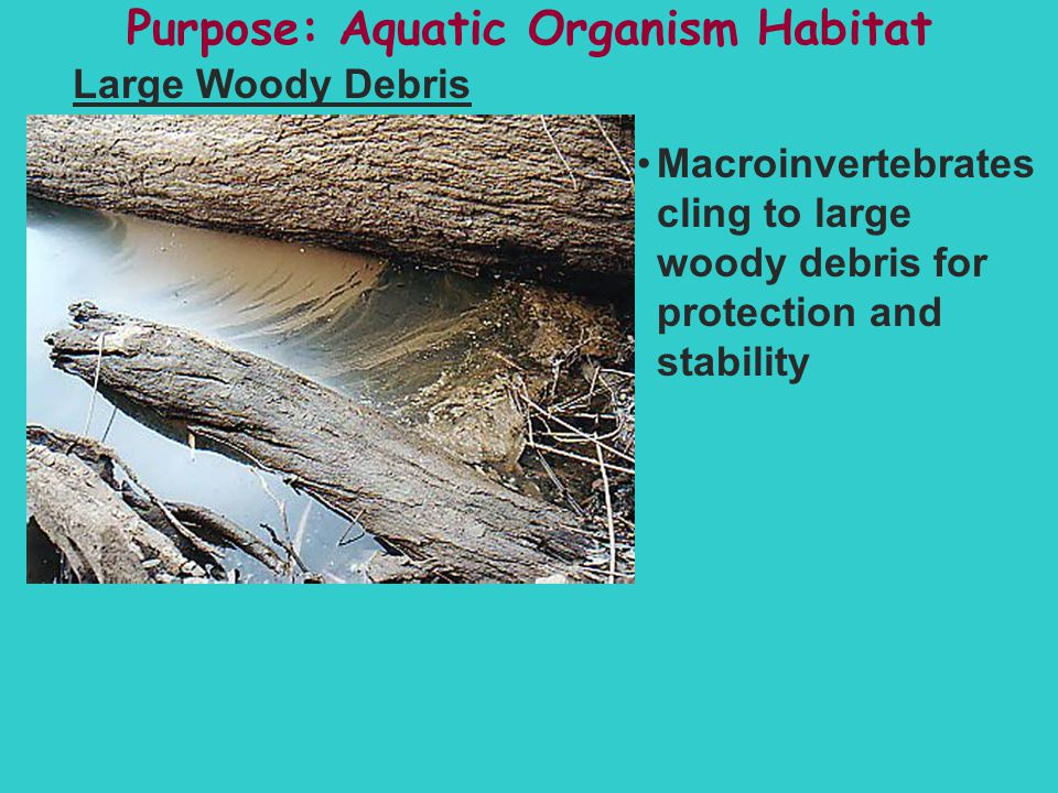 Purpose: Aquatic Organism Habitat Large Woody Debris Macroinvertebrates cling to large woody debris for protection and stability