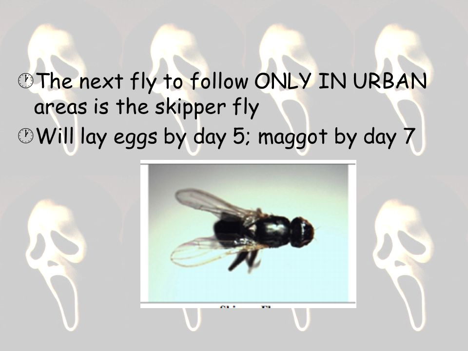  The next fly to follow ONLY IN URBAN areas is the skipper fly  Will lay eggs by day 5; maggot by day 7
