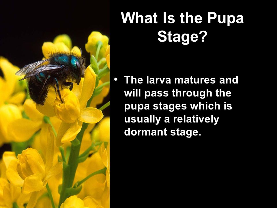 What Is the Pupa Stage.