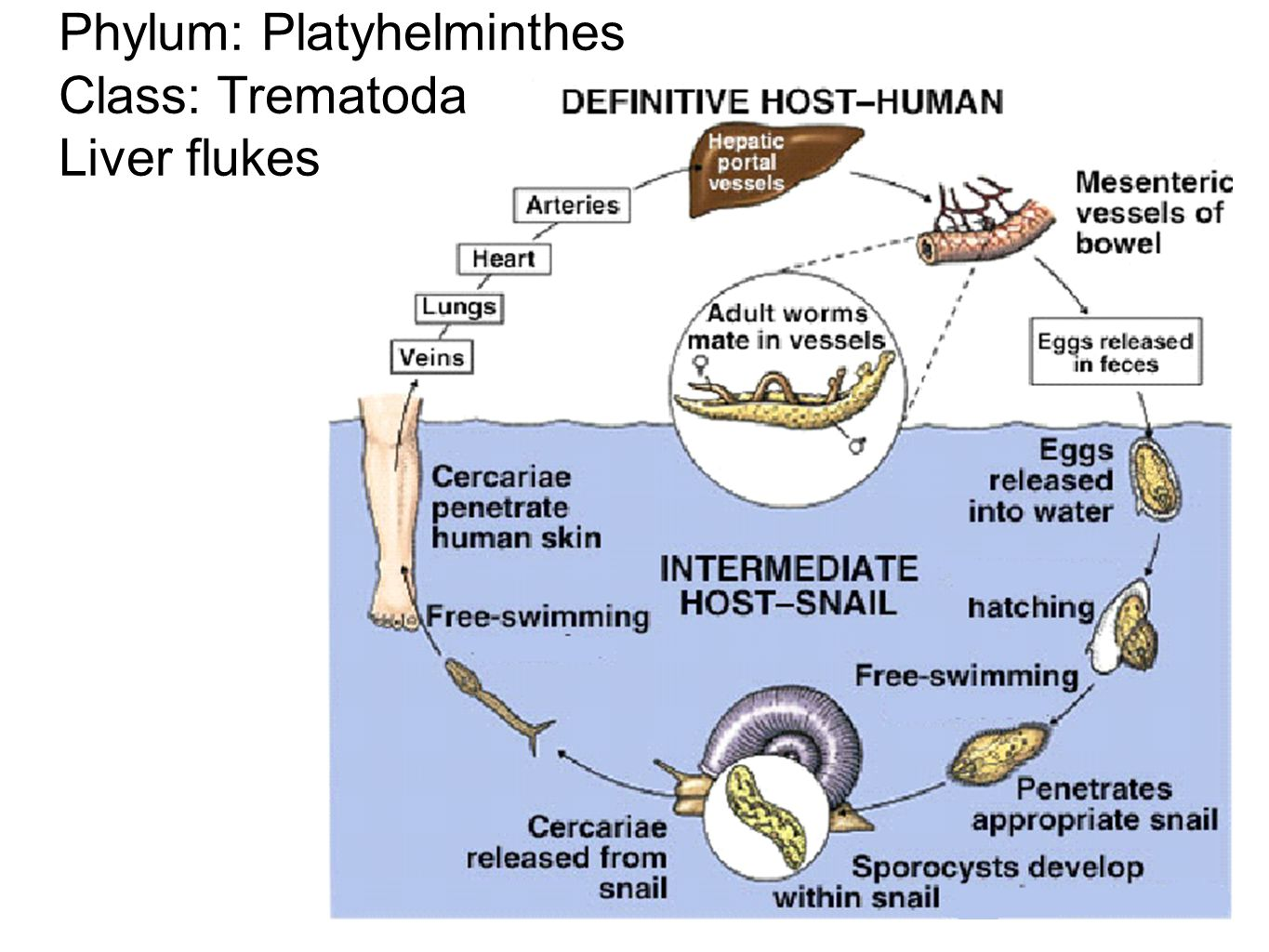 Phylum: Platyhelminthes Class: Trematoda Liver flukes