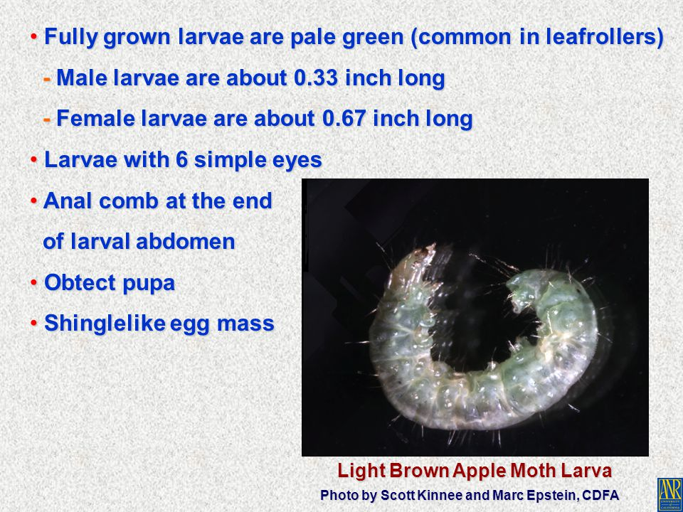 Fully grown larvae are pale green (common in leafrollers) Fully grown larvae are pale green (common in leafrollers) - Male larvae are about 0.33 inch
