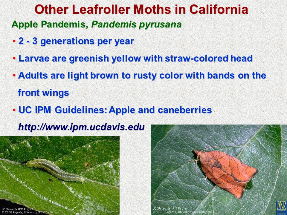 Other Leafroller Moths in California Apple Pandemis, Pandemis pyrusana 2 - 3 generations per year 2 - 3 generations per year Larvae are greenish yello