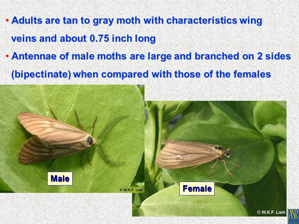 Adults are tan to gray moth with characteristics wing Adults are tan to gray moth with characteristics wing veins and about 0.75 inch long veins and a
