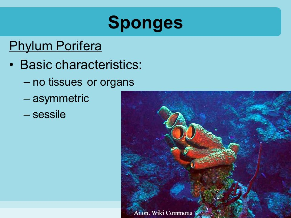 Sponges Phylum Porifera Basic characteristics: –no tissues or organs –asymmetric –sessile Anon. Wiki Commons