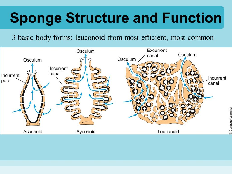 Sponge Structure and Function Nutrition and digestion –suspension/filter feeders –collar cells (choanocytes) filter out tiny food particles –pinacocytes and archaeocytes (a.k.a.