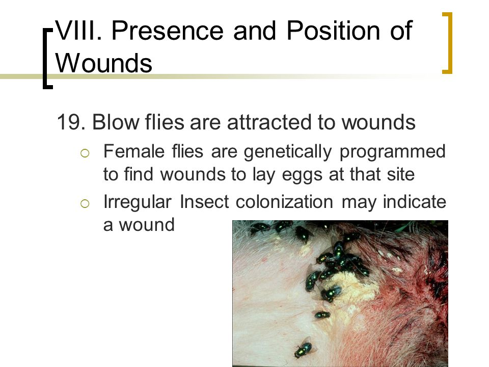 VIII. Presence and Position of Wounds 19. Blow flies are attracted to wounds  Female flies are genetically programmed to find wounds to lay eggs at t