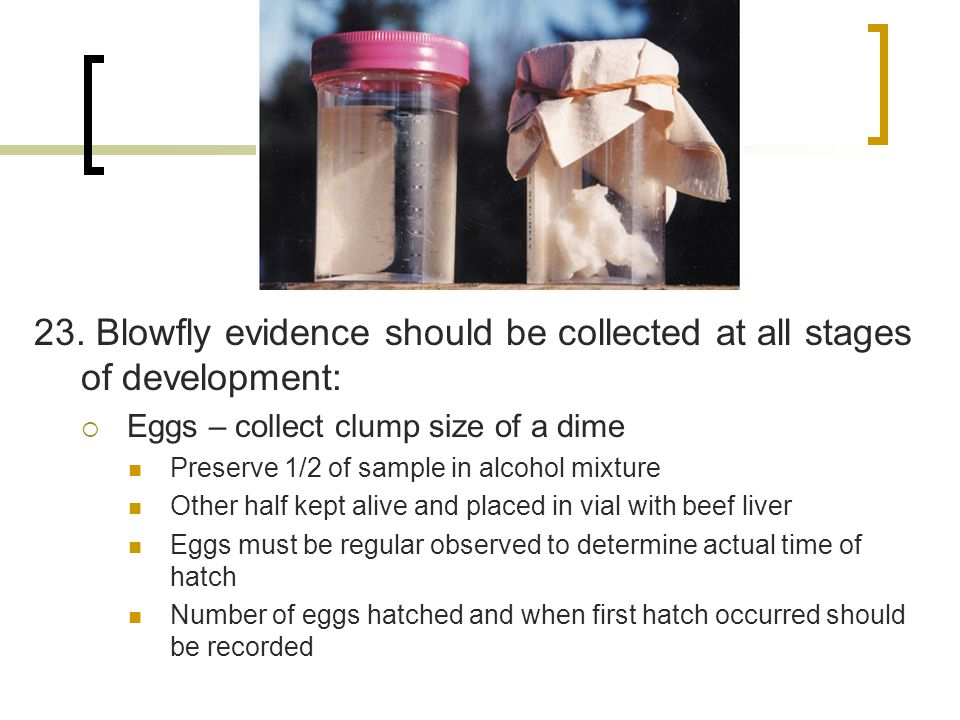 23. Blowfly evidence should be collected at all stages of development:  Eggs – collect clump size of a dime Preserve 1/2 of sample in alcohol mixture