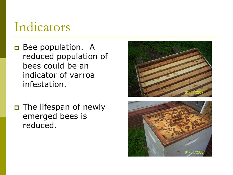 Indicators  Bee population. A reduced population of bees could be an indicator of varroa infestation.  The lifespan of newly emerged bees is reduced