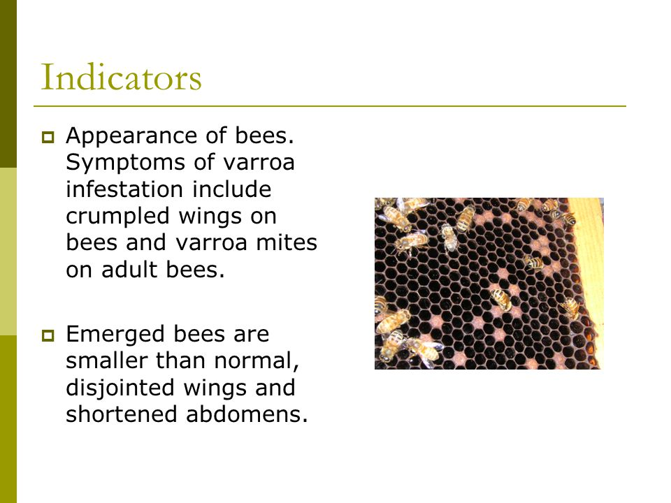 Indicators  Appearance of bees. Symptoms of varroa infestation include crumpled wings on bees and varroa mites on adult bees.  Emerged bees are smal