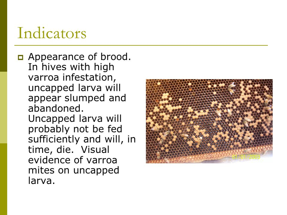 Indicators  Appearance of brood. In hives with high varroa infestation, uncapped larva will appear slumped and abandoned. Uncapped larva will probabl