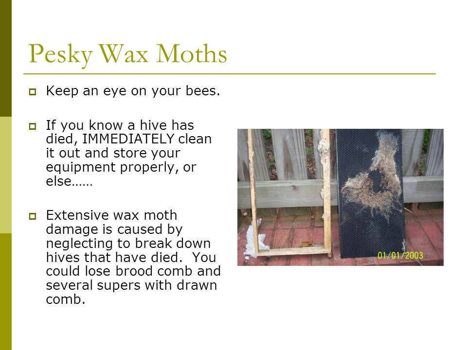 Pesky Wax Moths  Keep an eye on your bees.  If you know a hive has died, IMMEDIATELY clean it out and store your equipment properly, or else……  Ext