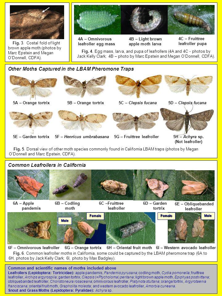4B – Light brown apple moth larva 4A – Omnivorous leafroller egg mass 4C – Fruittree leafroller pupa Fig.