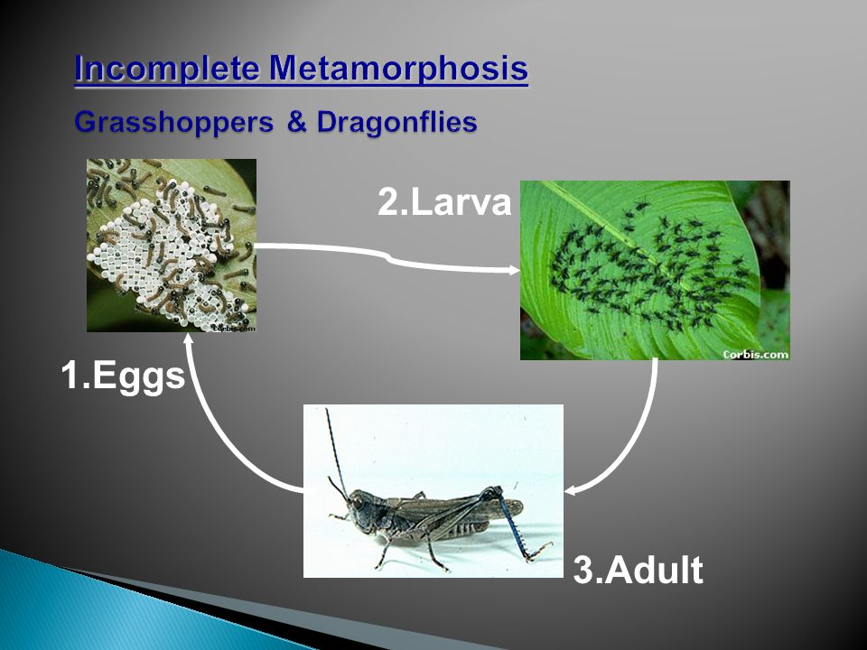3.Adult 2.Larva 1.Eggs