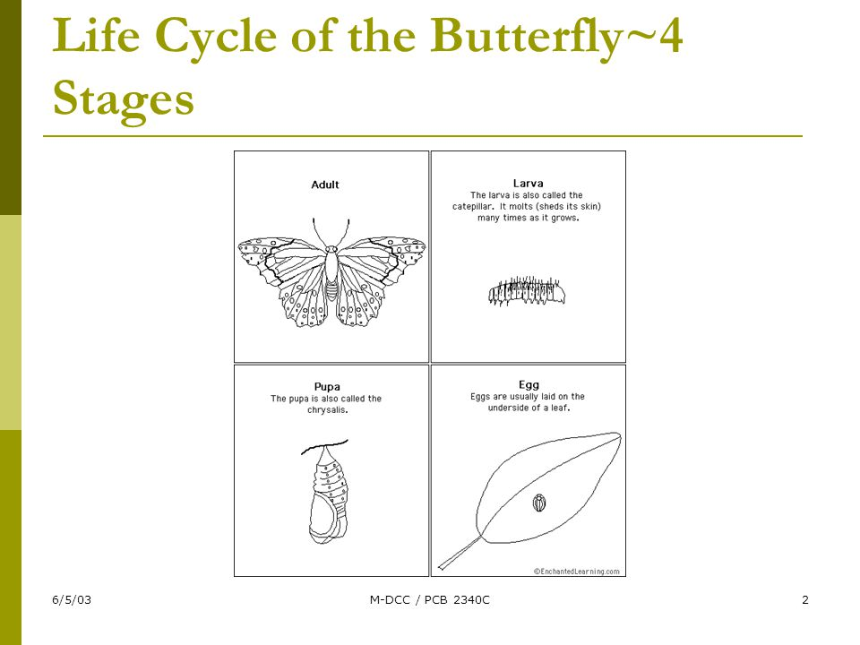 6/5/03M-DCC / PCB 2340C2 Life Cycle of the Butterfly~4 Stages