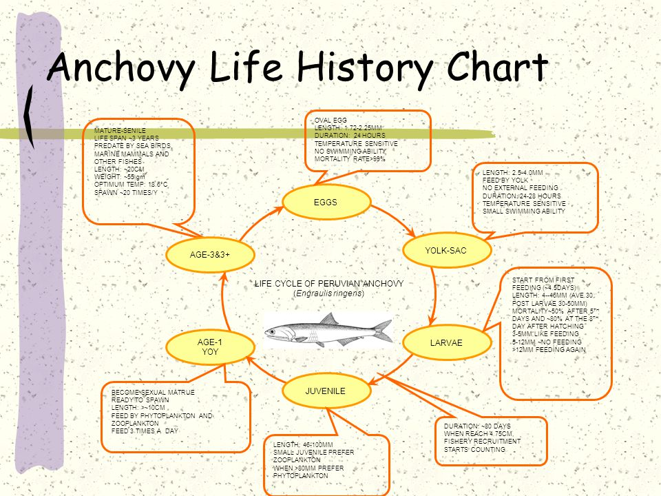 Anchovy Life History Chart MATURE-SENILE LIFE SPAN ~3 YEARS PREDATE BY SEA BIRDS, MARINE MAMMALS AND OTHER FISHES LENGTH: ~20CM WEIGHT: ~55 gm OPTIMUM TEMP: 18.6°C SPAWN ~20 TIMES/Y EGGS YOLK-SAC LARVAE JUVENILE AGE-1 YOY AGE-3&3+ LIFE CYCLE OF PERUVIAN ANCHOVY (Engraulis ringens) OVAL EGG LENGTH: 1.72-2.25MM DURATION: 24 HOURS TEMPERATURE SENSITIVE NO SWIMMING ABILITY MORTALITY RATE>99% LENGTH: 46-100MM SMALL JUVENILE PREFER ZOOPLANKTON WHEN >80MM PREFER PHYTOPLANKTON LENGTH: 2.5-4.0MM FEED BY YOLK NO EXTERNAL FEEDING DURATION: 24-28 HOURS TEMPERATURE SENSITIVE SMALL SWIMMING ABILITY BECOME SEXUAL MATRUE READY TO SPAWN LENGTH: >~10CM FEED BY PHYTOPLANKTON AND ZOOPLANKTON FEED 3 TIMES A DAY START FROM FIRST FEEDING (~4.5DAYS) LENGTH: 4--46MM (AVE.30, POST LARVAE 30-50MM) MORTALITY~50% AFTER 5 TH DAYS AND ~80% AT THE 8 TH DAY AFTER HATCHING 3-5MM LIKE FEEDING 5-12MM ~NO FEEDING >12MM FEEDING AGAIN DURATION: ~80 DAYS WHEN REACH 4.75CM, FISHERY RECRUITMENT STARTS COUNTING
