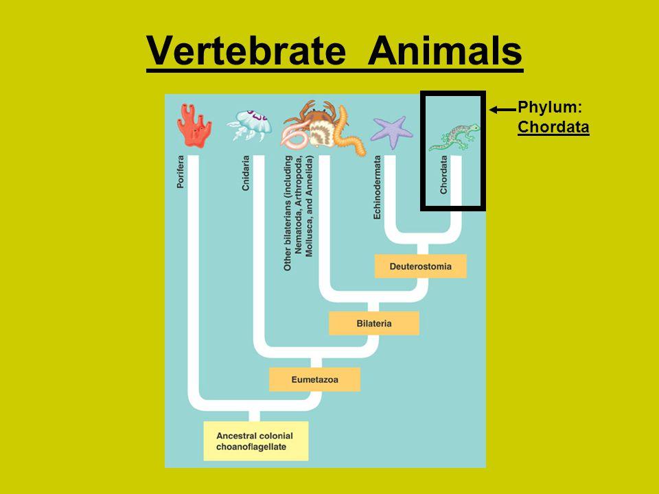 Phylum: Chordata Vertebrate Animals