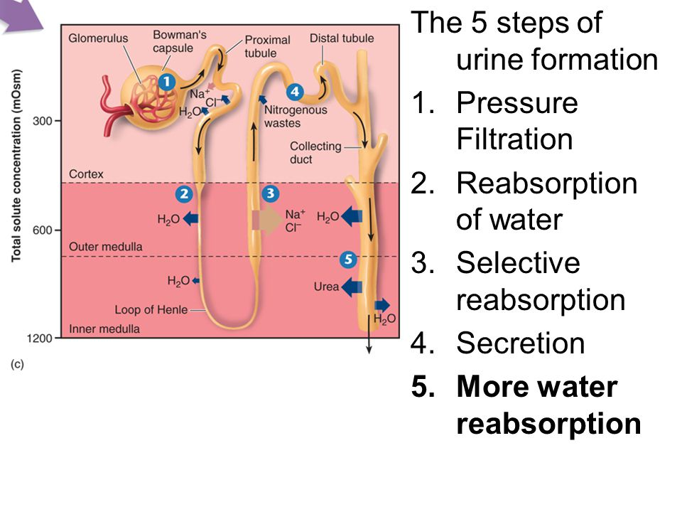 The 5 steps of urine formation 1.Pressure Filtration 2.Reabsorption of water 3.Selective reabsorption 4.Secretion 5.More water reabsorption