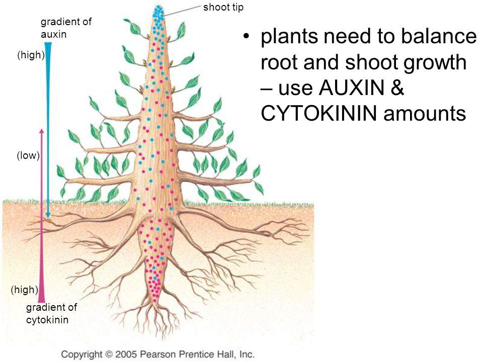 shoot tip gradient of auxin (high) (low) (high) gradient of cytokinin plants need to balance root and shoot growth – use AUXIN & CYTOKININ amounts