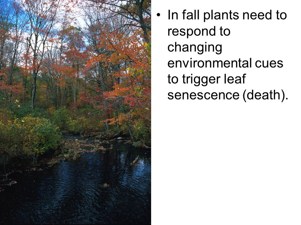 In fall plants need to respond to changing environmental cues to trigger leaf senescence (death).