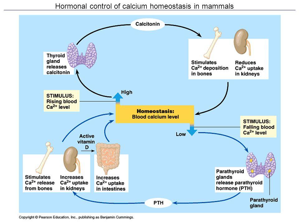 Hormonal control of calcium homeostasis in mammals