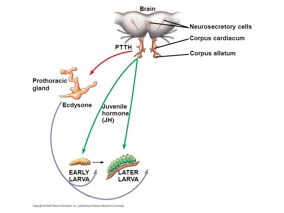 Ecdysone Brain PTTH Juvenile hormone (JH) EARLY LARVA Neurosecretory cells Corpus cardiacum Corpus allatum LATER LARVA Prothoracic gland