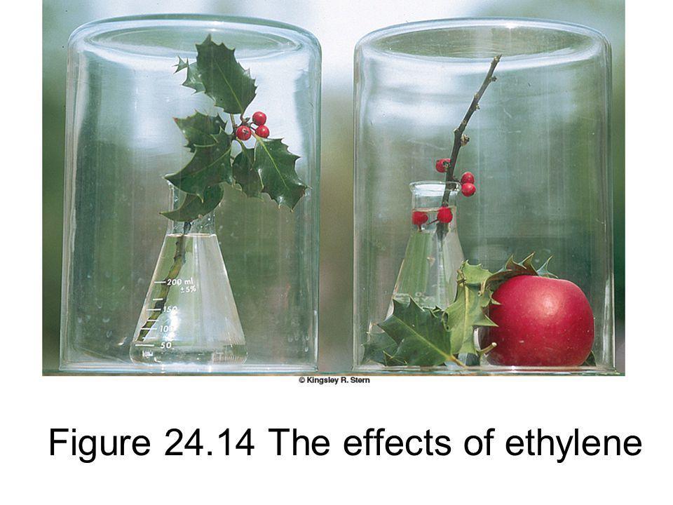 Figure 24.14 The effects of ethylene