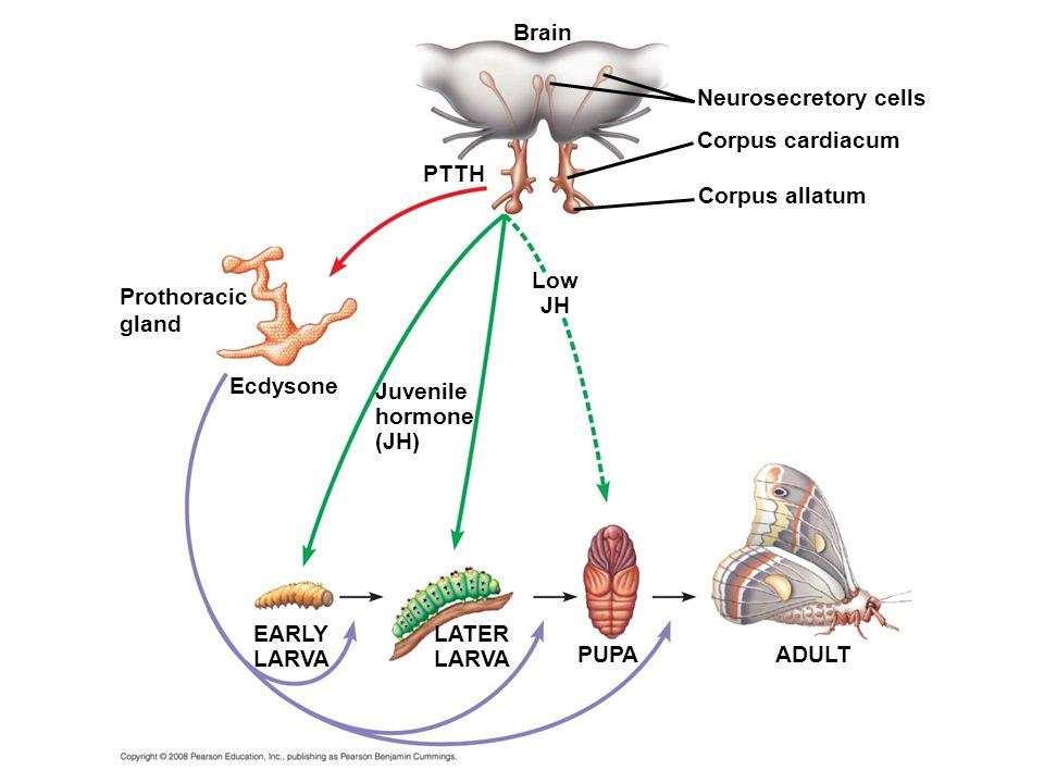 Ecdysone Brain PTTH EARLY LARVA Neurosecretory cells Corpus cardiacum Corpus allatum LATER LARVA PUPAADULT Low JH Juvenile hormone (JH) Prothoracic gl