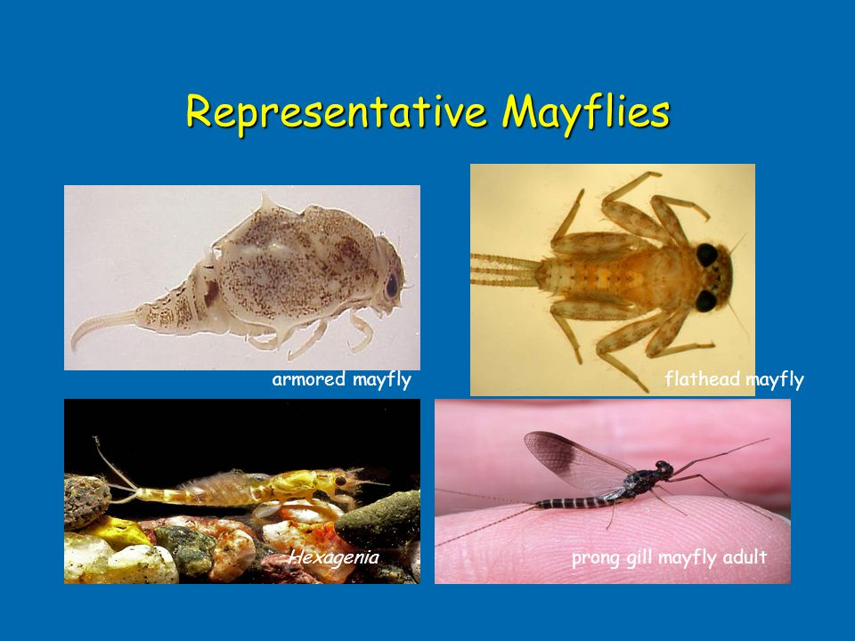 Representative Mayflies flathead mayflyarmored mayfly prong gill mayfly adultHexagenia