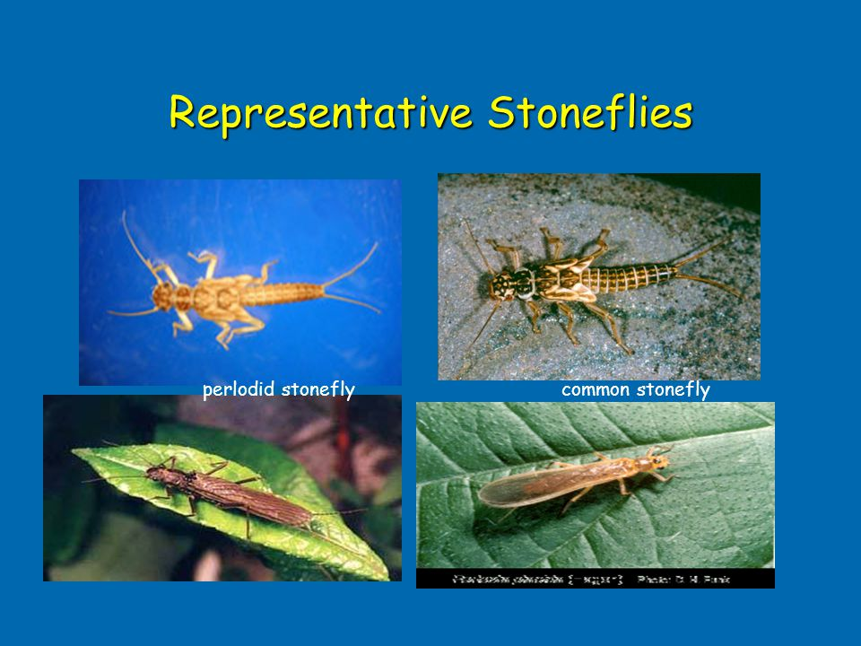 Representative Stoneflies common stoneflyperlodid stonefly