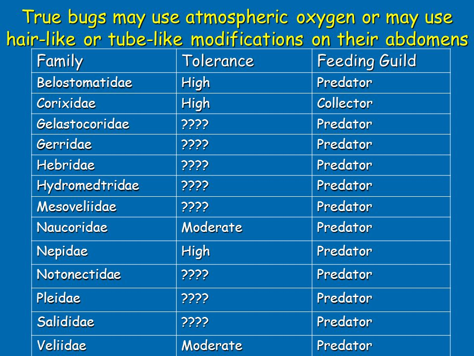 True bugs may use atmospheric oxygen or may use hair-like or tube-like modifications on their abdomens FamilyTolerance Feeding Guild BelostomatidaeHighPredator CorixidaeHighCollector Gelastocoridae Predator Gerridae Predator Hebridae Predator Hydromedtridae Predator Mesoveliidae Predator NaucoridaeModeratePredator NepidaeHighPredator Notonectidae Predator Pleidae Predator Salididae Predator VeliidaeModeratePredator