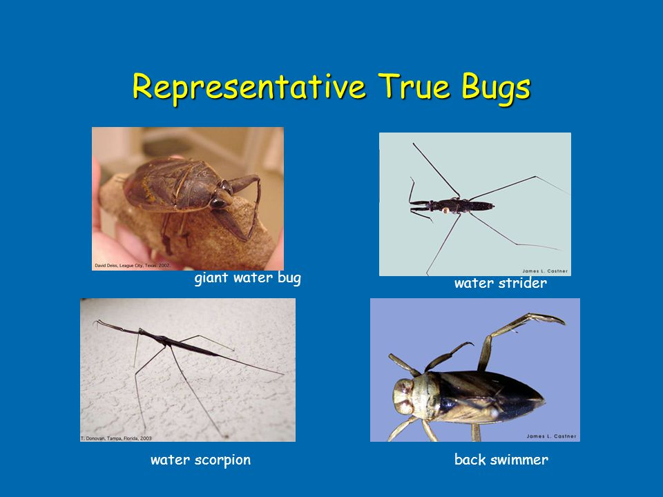 Representative True Bugs water strider water scorpionback swimmer giant water bug