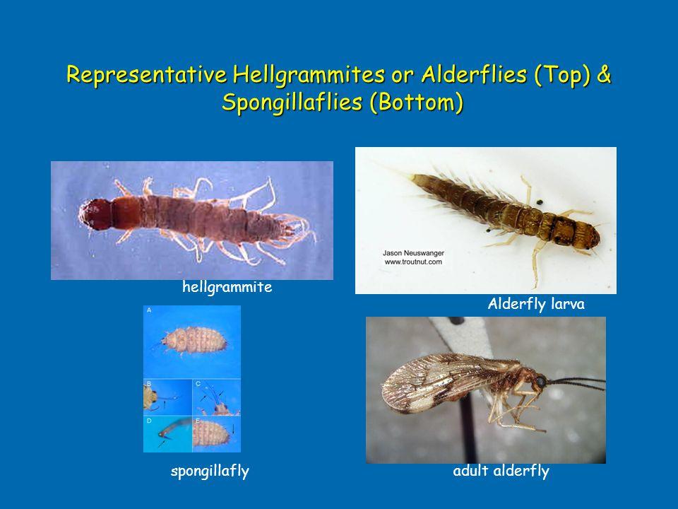 Representative Hellgrammites or Alderflies (Top) & Spongillaflies (Bottom) Alderfly larva hellgrammite spongillaflyadult alderfly
