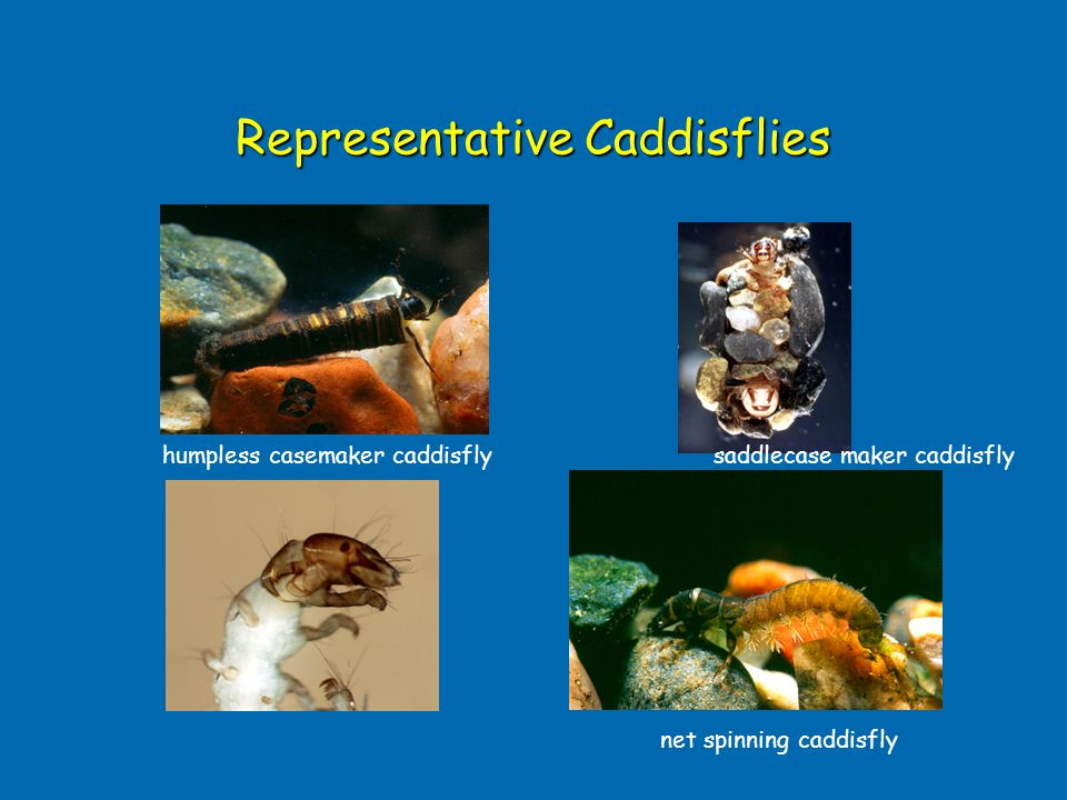 Representative Caddisflies net spinning caddisfly humpless casemaker caddisflysaddlecase maker caddisfly
