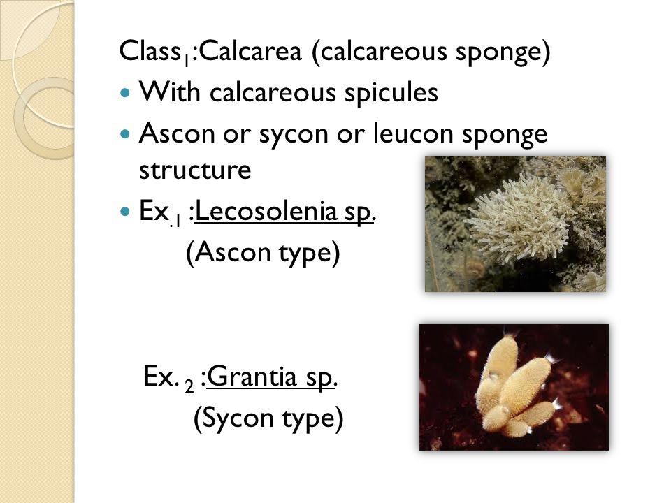 Class 1 :Calcarea (calcareous sponge) With calcareous spicules Ascon or sycon or leucon sponge structure Ex.1 :Lecosolenia sp. (Ascon type) Ex. 2 :Gra