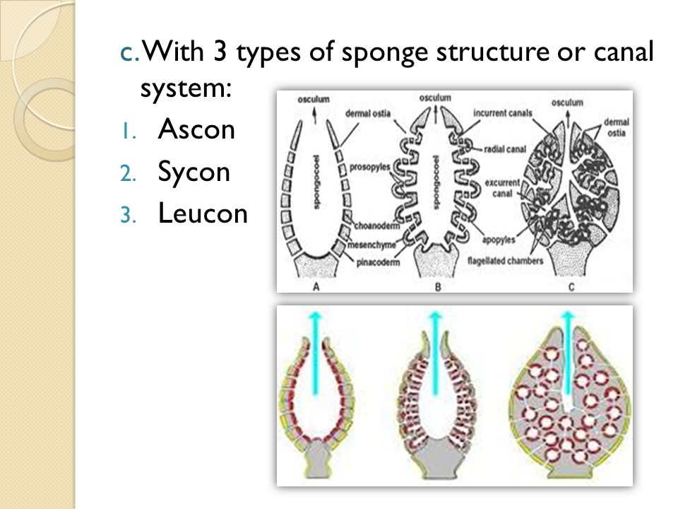 c. With 3 types of sponge structure or canal system: 1. Ascon 2. Sycon 3. Leucon
