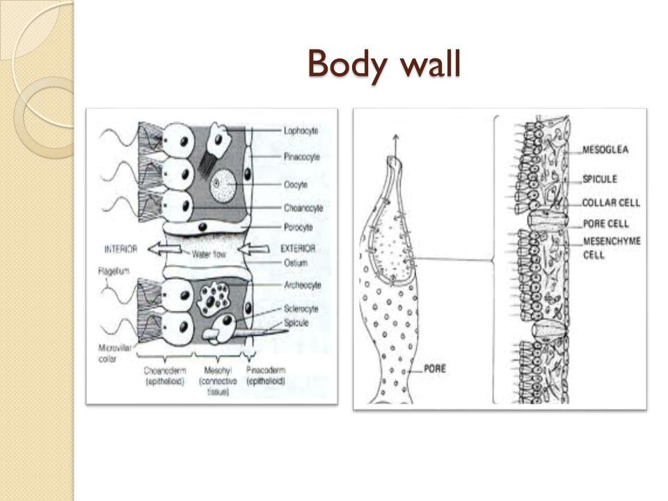 Body wall Body wall