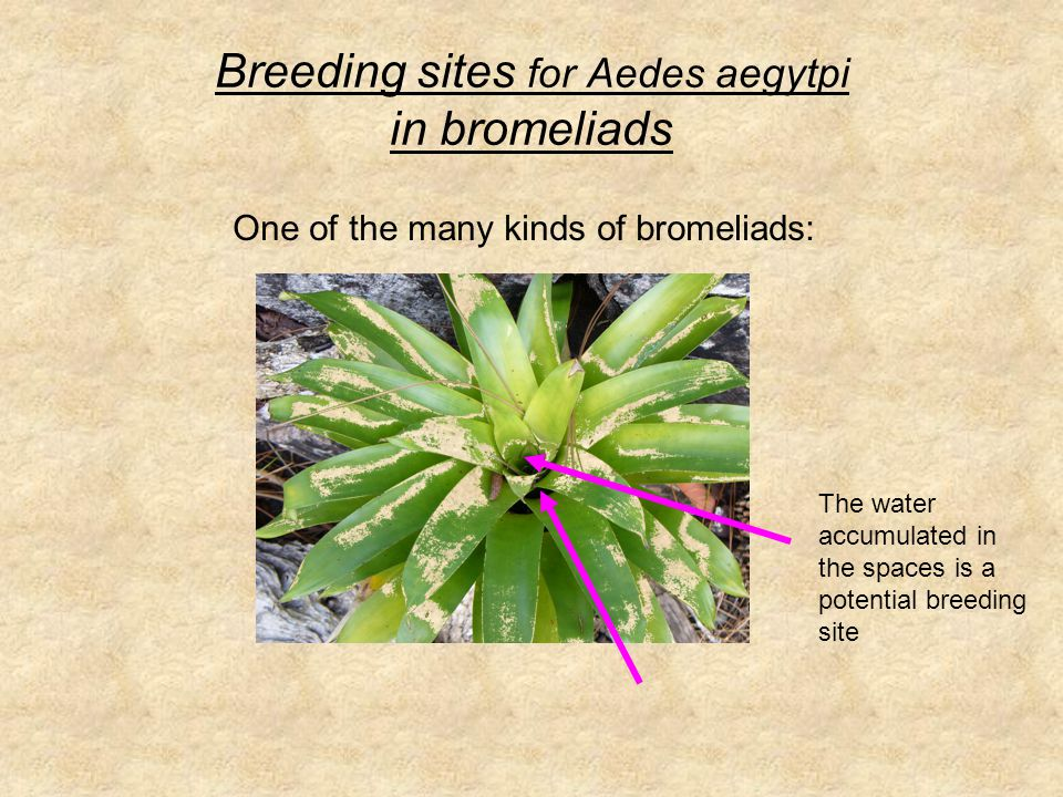 Breeding sites for Aedes aegytpi in bromeliads The water accumulated in the spaces is a potential breeding site One of the many kinds of bromeliads: