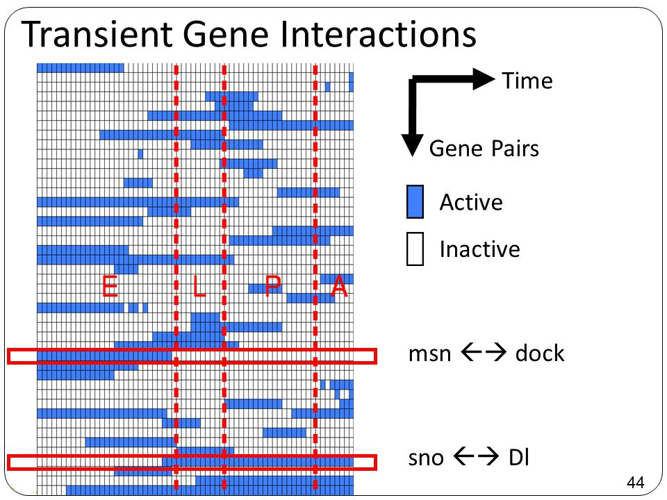 44 Transient Gene Interactions Time Gene Pairs Active Inactive msn  dock sno  Dl