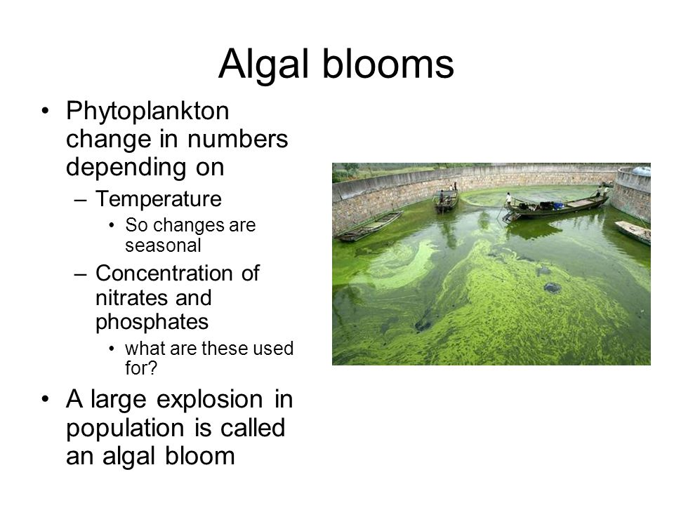 Algal blooms Phytoplankton change in numbers depending on –Temperature So changes are seasonal –Concentration of nitrates and phosphates what are these used for.