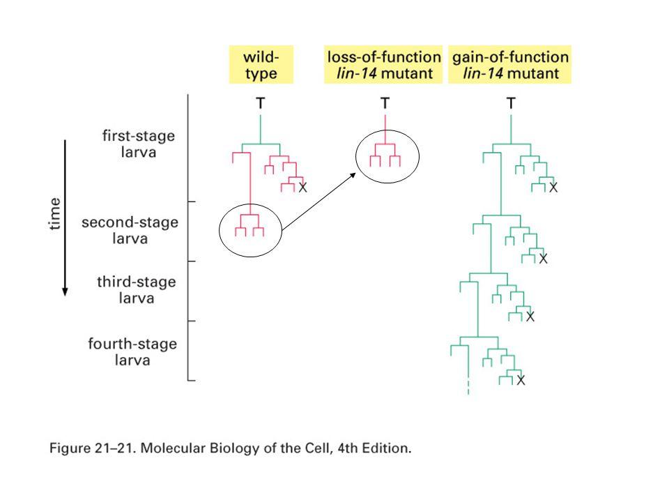 Apoptosis 1030-131 Cell death abnormal gene -ced-3, ced-4, egl-1 (caspase, Apaf-1, BAD homolog)  cause cell death -ced-9 (Bcl-2 homolog)  repress cell death