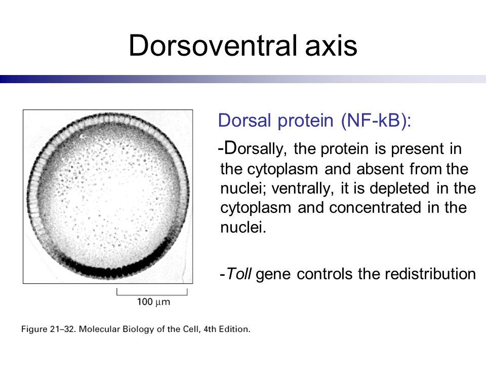 Dorsoventral axis Dorsal protein (NF-kB): -D orsally, the protein is present in the cytoplasm and absent from the nuclei; ventrally, it is depleted in