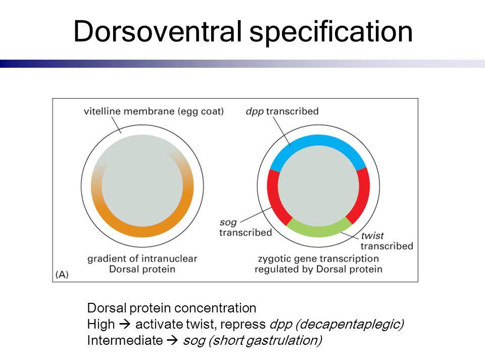 Dorsoventral specification Dorsal protein concentration High  activate twist, repress dpp (decapentaplegic) Intermediate  sog (short gastrulation)