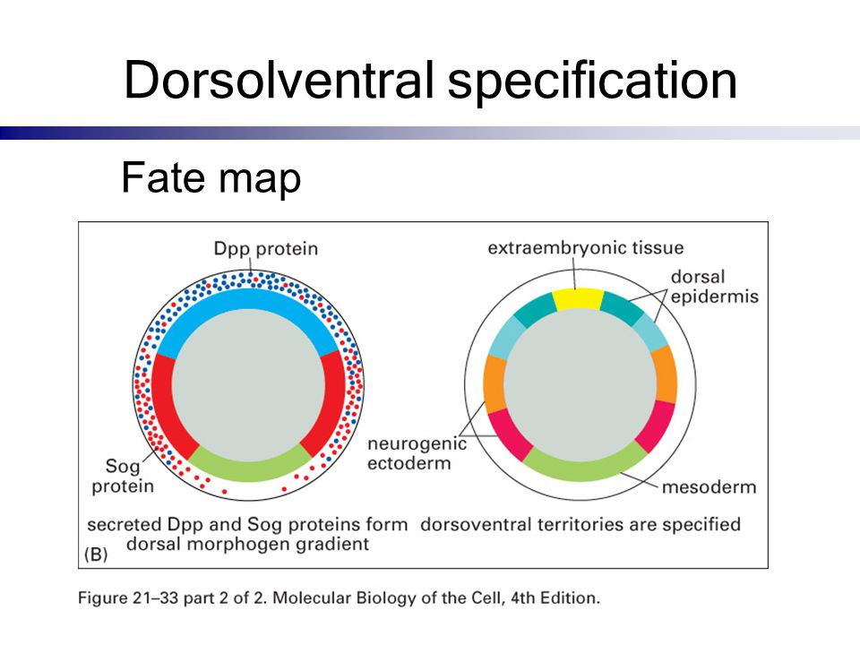 Dorsolventral specification Fate map