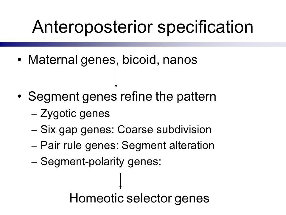Anteroposterior specification Maternal genes, bicoid, nanos Segment genes refine the pattern –Zygotic genes –Six gap genes: Coarse subdivision –Pair r